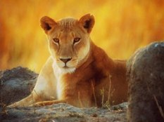 Image result for lioness