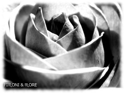 Fotografie_Rose1