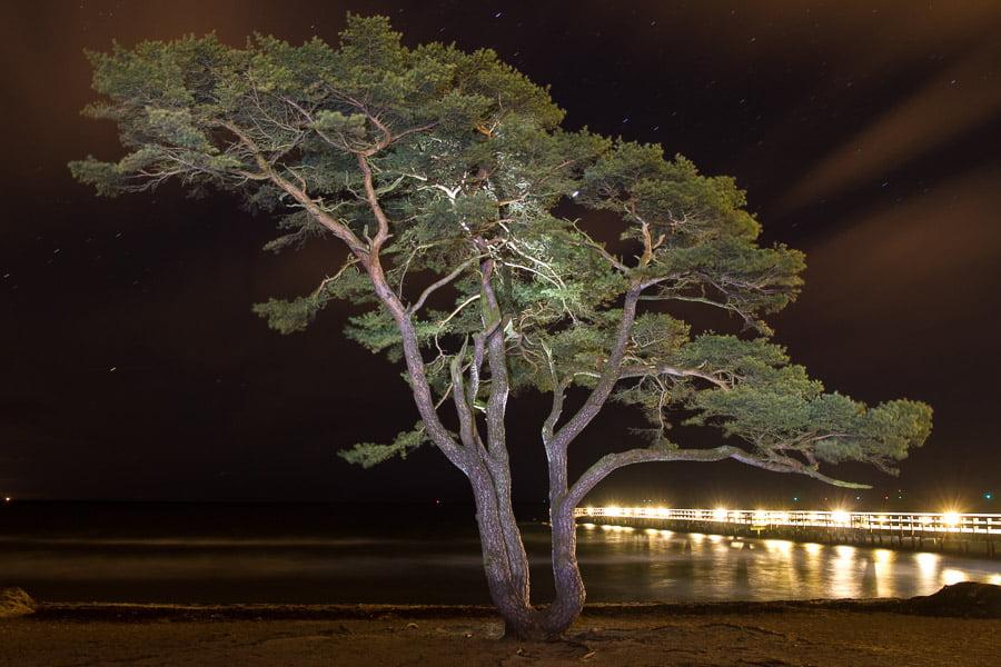 Åhus famous tree that looks like a big Bonsai tree.