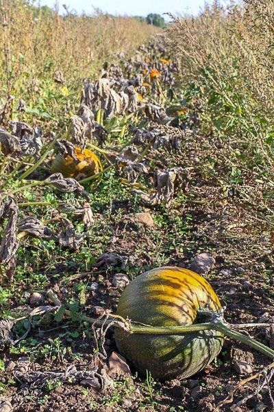 Pumpkins in Öland.