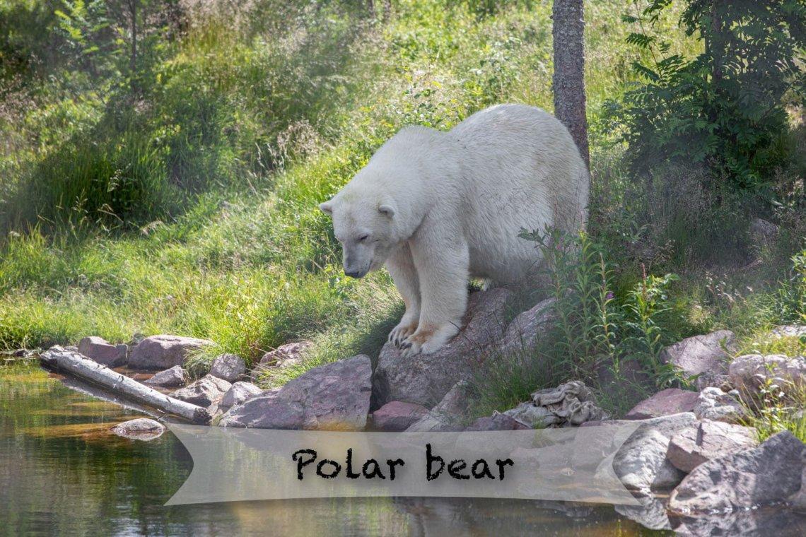 Orsa rovdjurspark - Polar bear