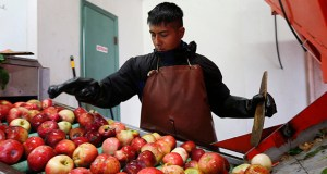 Perry Loyola sorts apples Oct. 14 before they are pressed for juice and used for cider at Samascott Orchards in Kinderhook, N.Y. The Conference Board on Thursday said that its index of leading indicators rose 0.8 percent in September following a flat reading in August which originally had been reported as a small 0.2 percent gain. It was the best showing since a 1.1 percent advance in July. (AP file photo)