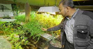 Ruhel Islam, owner and executive chef of the Gandhi Mahal restaurant in Minneapolis, shows the aquaponics garden and fish farm in the restaurant's basement. Some of the plants grown there are spinach, kachu root, curry leaf and Thai chili. (Staff photos: Bill Klotz)