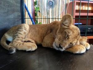 Sleeping Baby Tiger