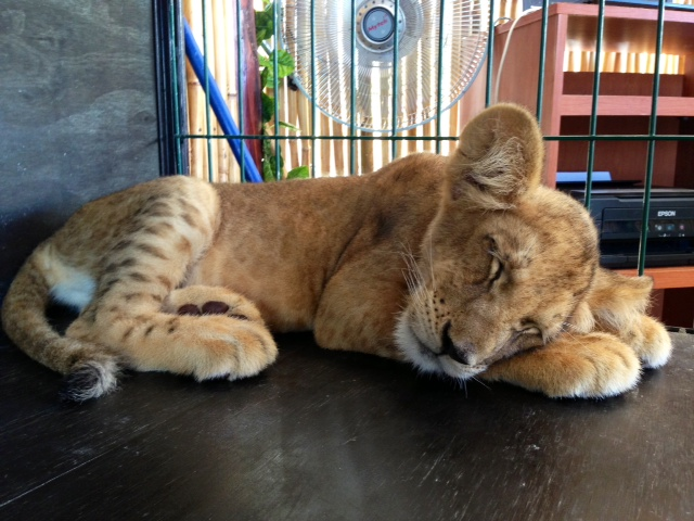 Sleeping Baby Tiger - Active Income Is Much More Enjoyable Than Passive Income