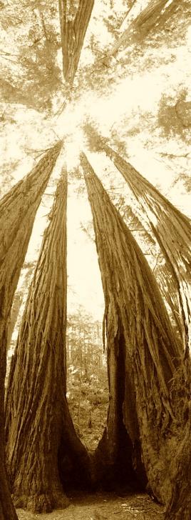 Great Redwood Tree
