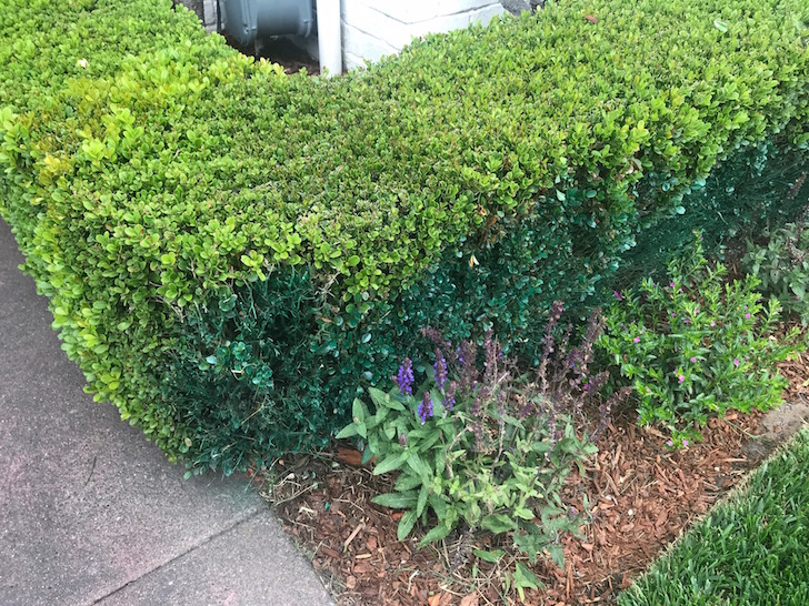 spray painted hedges