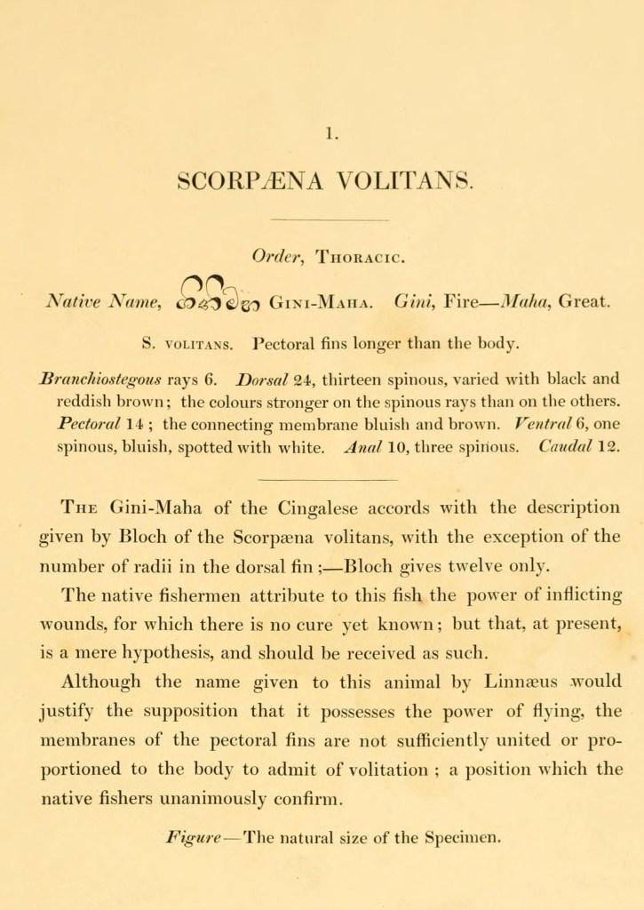 Scorpaena Volitans