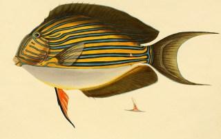 Acanthurus Vittatus