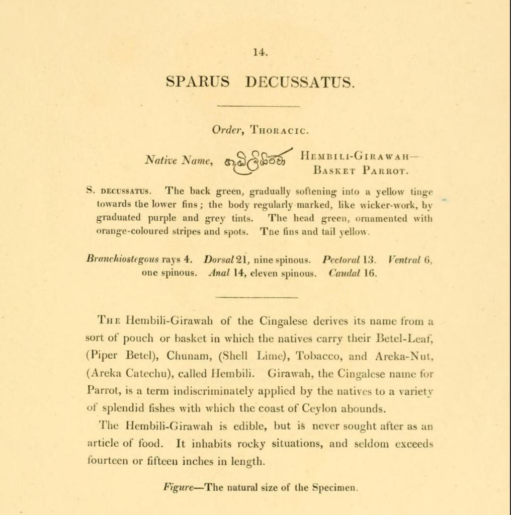Sparus Decussatus