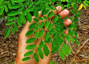 Moringa fresca F. Happy Fruit