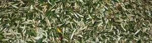 Organic Olive Leaves