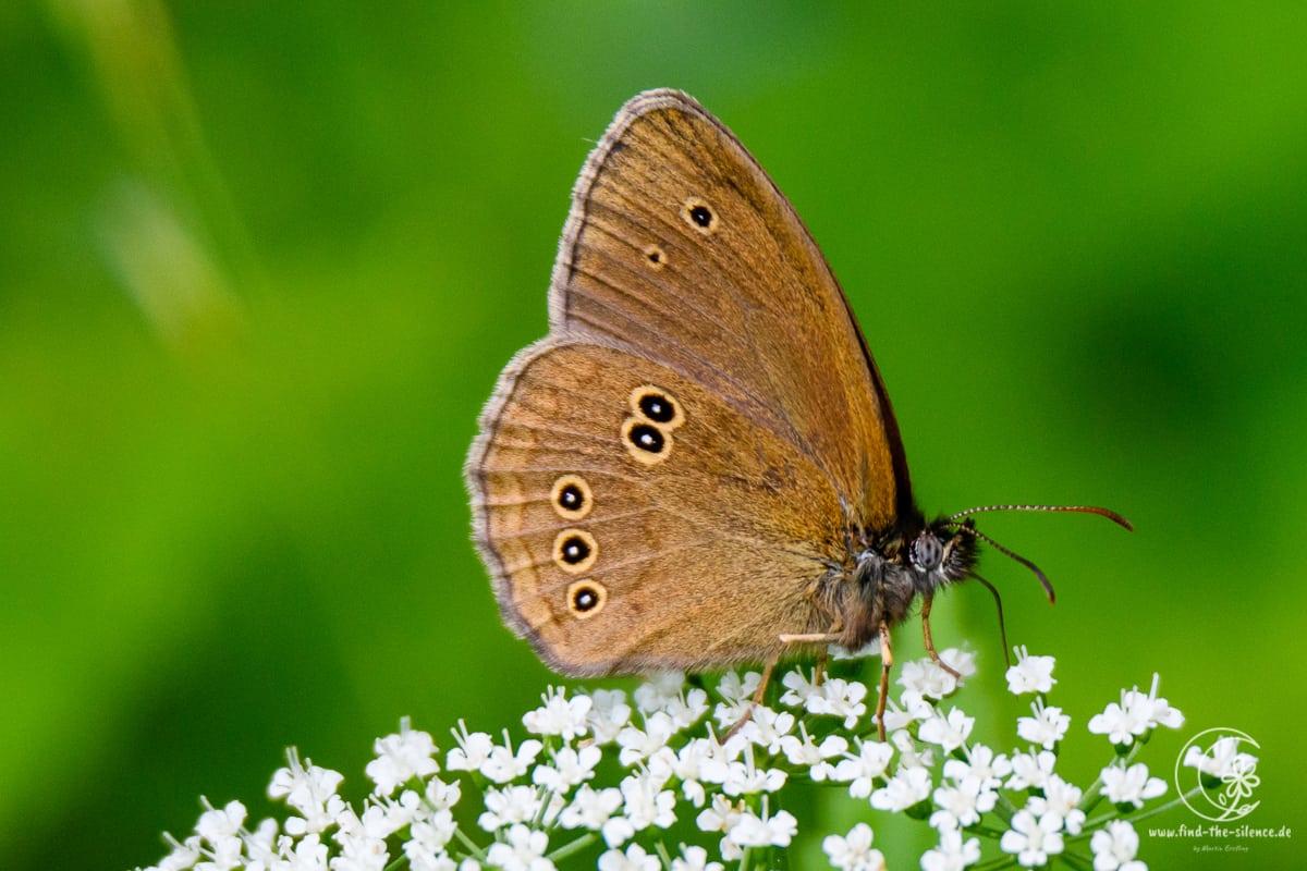 Brauner Waldvogel (Ringlet butterfly)