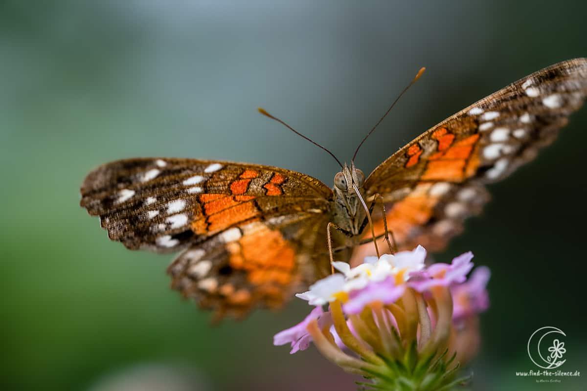 Schmetterling (unbekannt)
