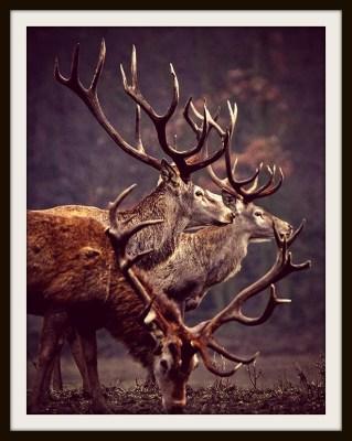 deers_3
