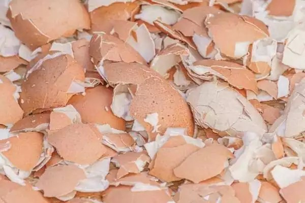 Eggshells mixture with water as a homemade fertilizer for money plant (pothos) in water