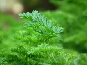 healthy-diet-foods-parsley