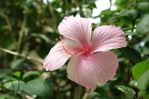 healthy-foods-to-eat-hibiscus-sabdariffa
