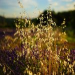 Natural Remedies for Anxiety: Oats