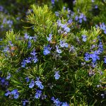 Natural Remedies for Anxiety: Rosemary
