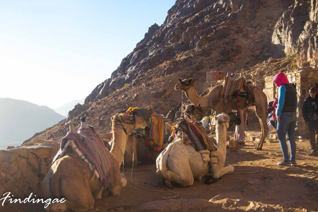 Camels on Mout Sinai