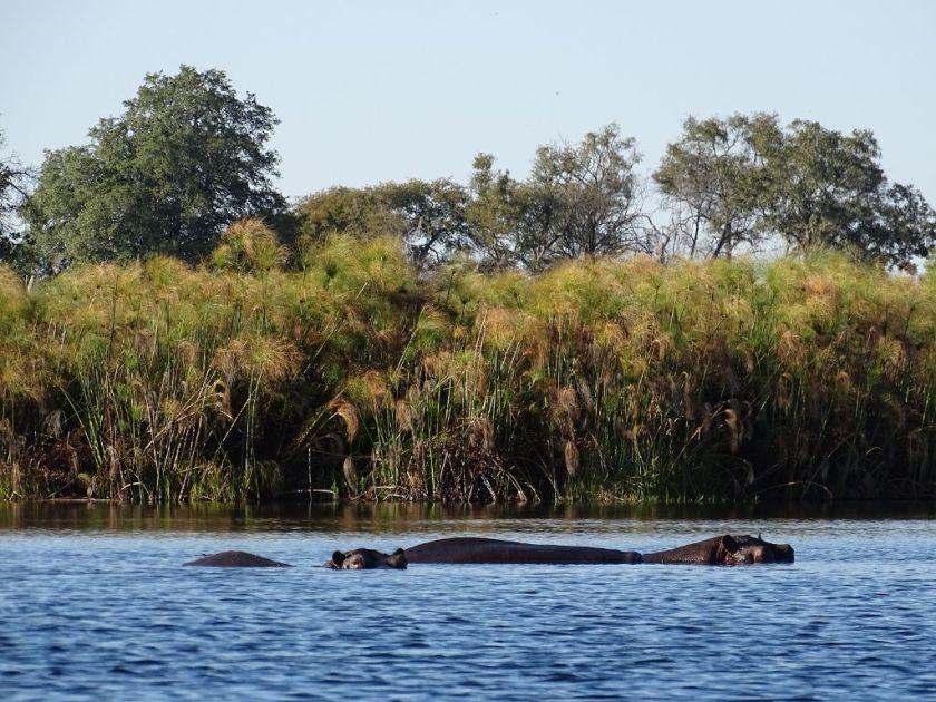 Flußpferde Okavango Delta