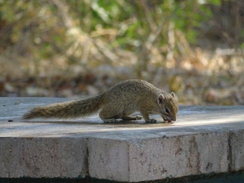Eichhörnchen Afrika