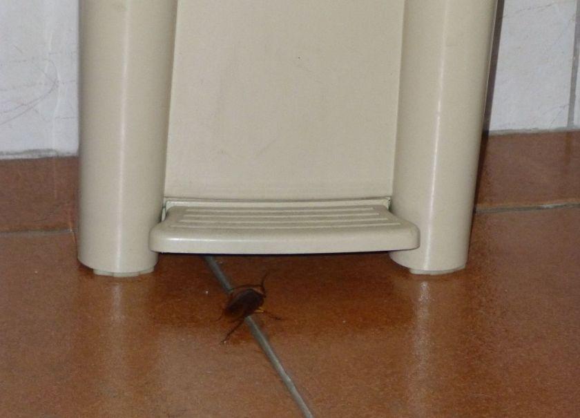 Kakerlake Costa Rica