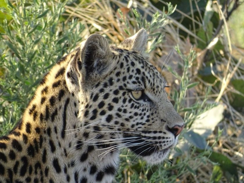 Leopard Botswana Savuti Afrika