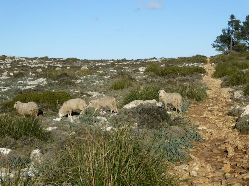 Mallorca kleine Wanderung im Valldemossa Schafe