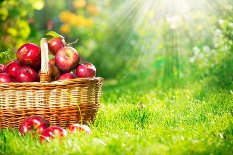 Apples piled in basket in an apple orchard.