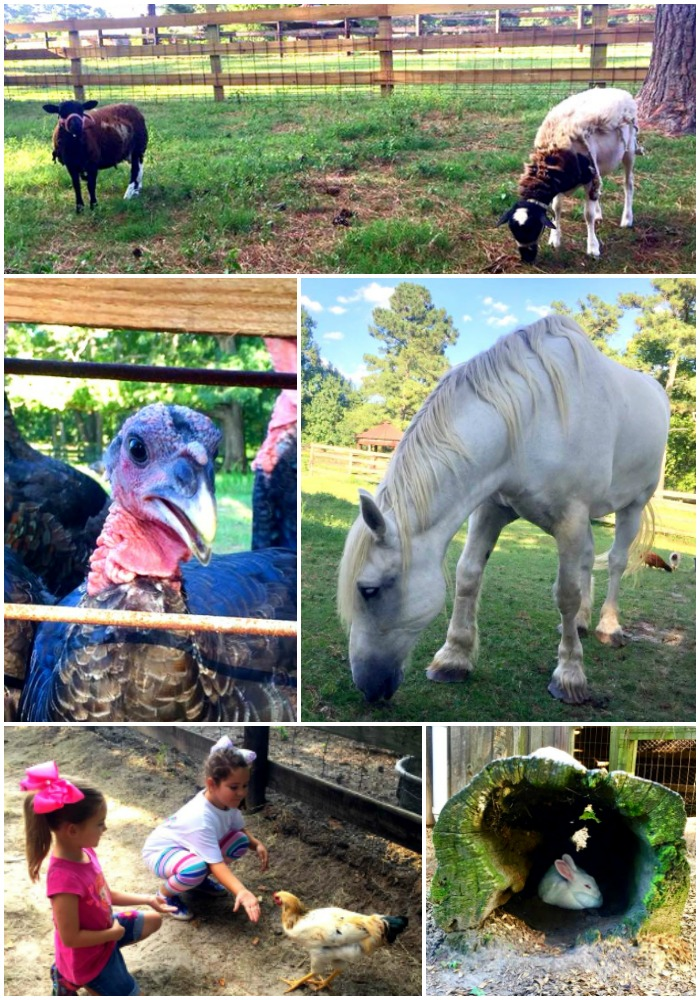 Things to do in Fayetteville, NC: Feed the animals at Gillis Hill Farm.