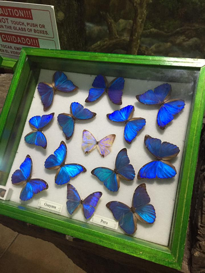 Visit Gumbalimba Park's Insectarium to learn about blue morpho butterflies.