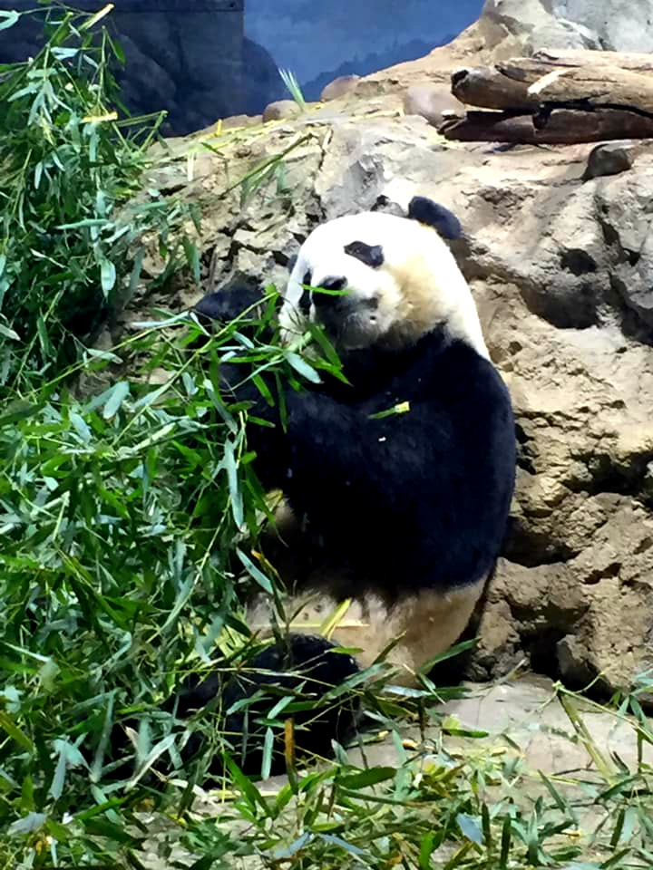 Panda bear at the Smithsonian Zoo in Washington D.C