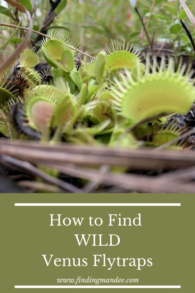 How to Find Wild Venus Flytraps | Finding Mandee