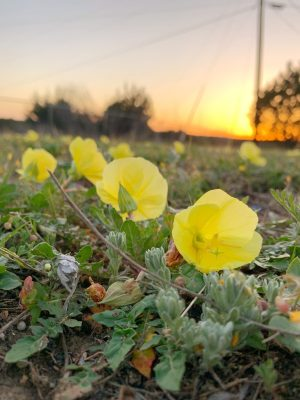Buttercups blooming in the sunset at Fort Hood, Texas.