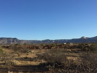 First roundup with a large amount of cattle