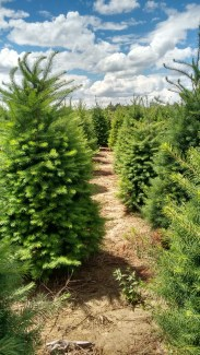 holiday trees_june 2016 (2)