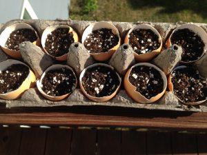 eggshells make great seed starter pods