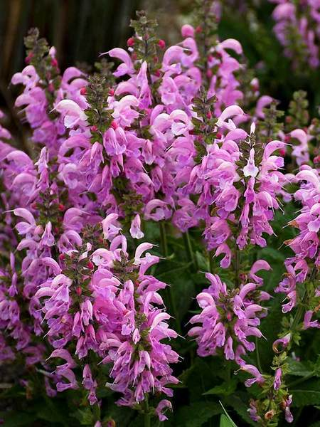 16 Perennials That Attract Hummingbirds to Your Garden! Pretty In Pink Salvia #Perennials #Garden #Gardening #Landscape #PerennialsForHummingbirds #Hummingbirds #Pollinators #GardenPollinators