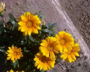 FindingTheVoices_YellowFlowers (13)