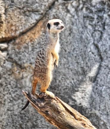 Meerkat enclosure, Auckland Zoo