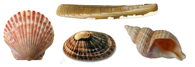 A selection of shells of different shapes