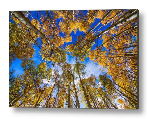 Colorful Aspen Forest Canopy Acrylic Print