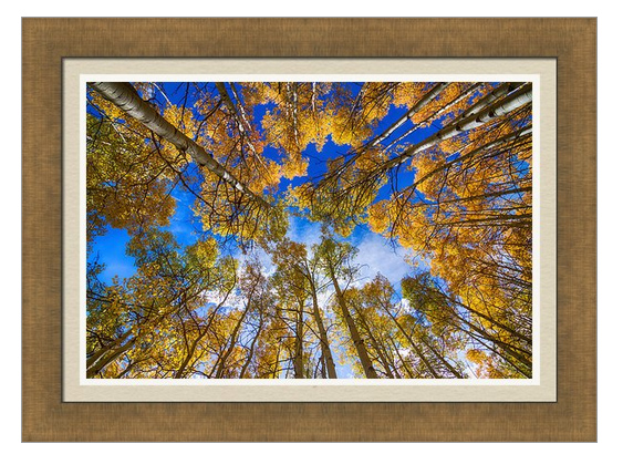 Colorful Aspen Forest Canopy Framed Print
