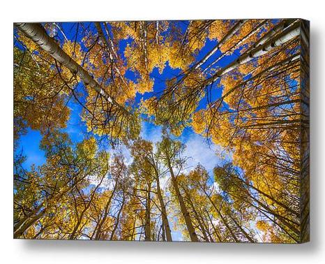 Colorful Aspen Forest Canopy Canvas Art Print