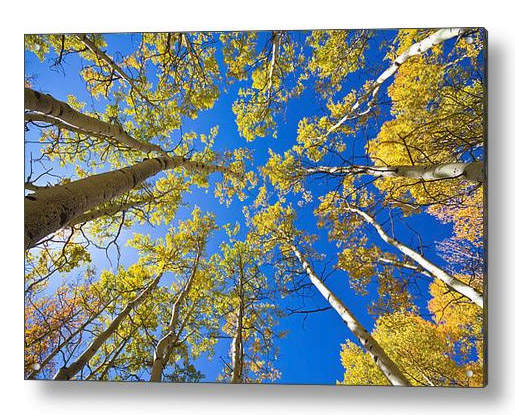 Golden View Looking Up Acrylic Print