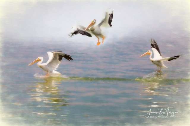 Three Pelicans Mixed Media Art Prints