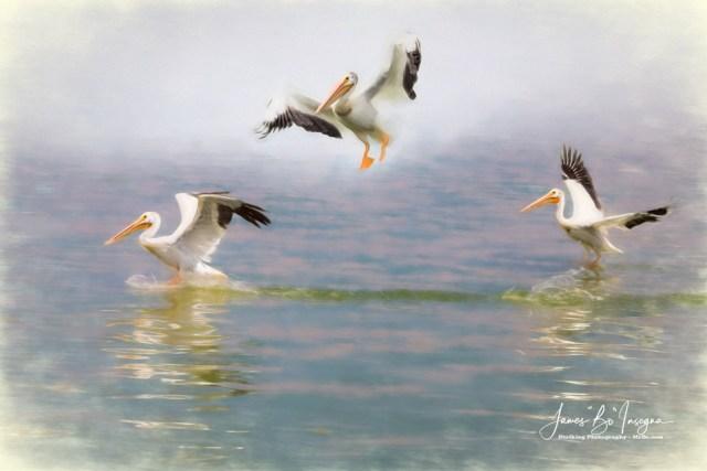 Three Pelicans Mixed Media Art Prints
