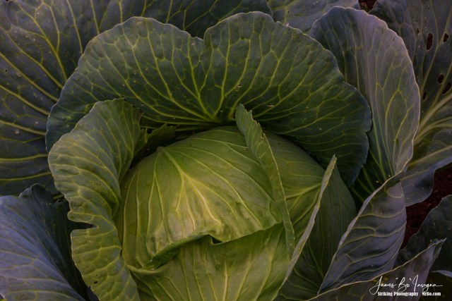Fresh Vegetable Garden Cabbage Art Print